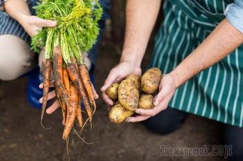 Что можно посадить на месте выкопанного раннего картофеля