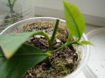 Прививка комнатных растений