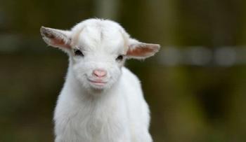 Когда и где человечество одомашнило коз?