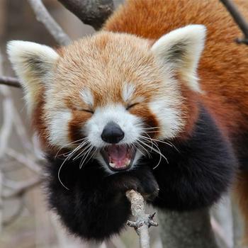 Доказательств того, что красные панды такие же крутые, как и обычные