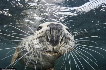 Не украду, так сфотографируюсь: тюлень сделал селфи, пытаясь отнять камеру у дайвера