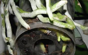 Как спасти орхидею, если корни сгнили