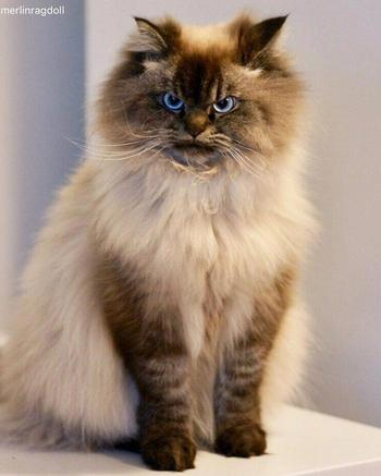 Мерлин — злобный кот, который ненавидит всех вокруг