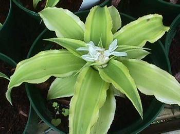 Как выглядит криптантус — базовый уход за растением, размножение, болезни