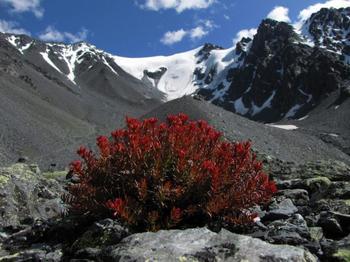 Красная щетка — свойства, состав, показания к применению
