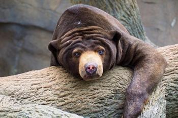 10 интересных фактов о самом мелком из представителей медвежьих