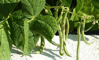 Выращивание и уход за спаржевой (стручковой) фасолью, когда и как правильно сажать