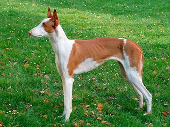 10 пород собак, о которых вы не слышали
