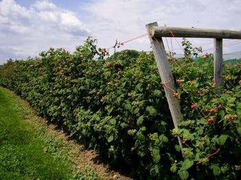 Выбираем и готовим участок под посадку малины