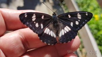 Одомашненная бабочка