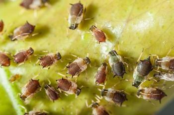 Самые опасные вредители зеленных культур