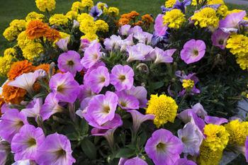 Какие многолетние цветы для дачи цветут всё лето