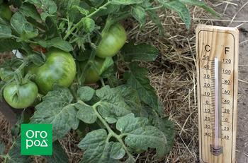 Почему не созревают томаты в теплице и открытом грунте