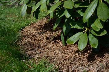 Готовим рододендроны к зиме: 5 важных шагов