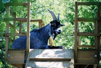 Карликовые козы с натуральной синей шерстью