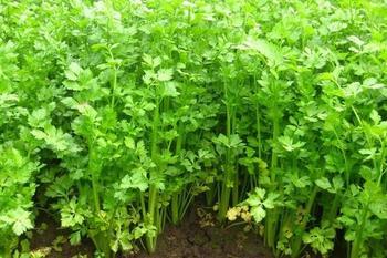 Сельдерей листовой выращивание из семян