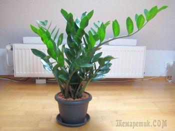 Домашний цветок замиокулькас: приметы и суеверия