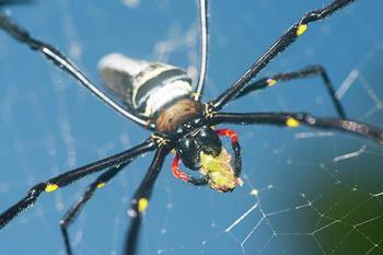 Обычные будни Австралии: гигантский паук заблокировал вход в жилище