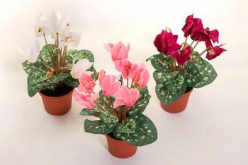Выращивание цикламенов в домашних условиях