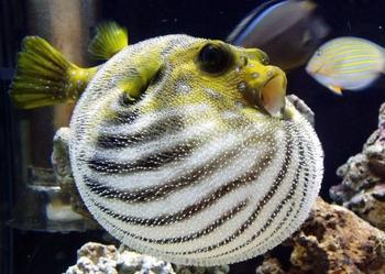 Интересные факты о ядовитой рыбе фугу
