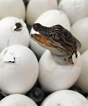Что же всё-таки появилось раньше - курица или яйцо?