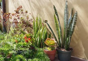 Размножение сансевиерии: виды, особенности, инструкция с фото и уход за цветком