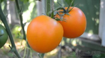 Солнышко на грядке: лучшие сорта желтых и оранжевых томатов