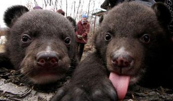 Китаец два года принимал медведей за домашних собак