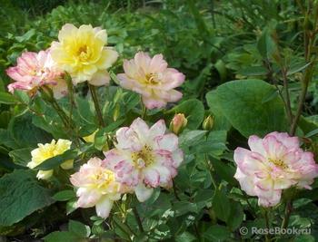 Домашние розы: уход, популярные сорта, правила содержания