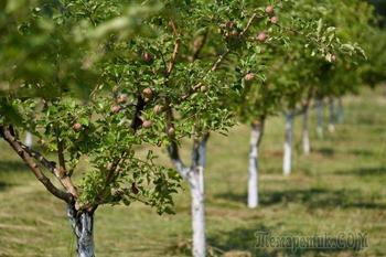 Ваш первый сад: что нужно знать о саженцах плодовых деревьев