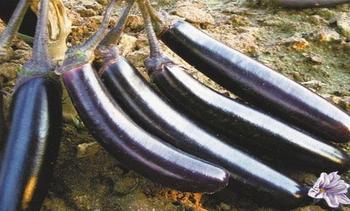Характеристика и описание баклажанов Король Севера F1, выращивание, уход