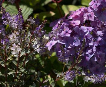 С чем посадить гортензию: 5 вариантов с фото
