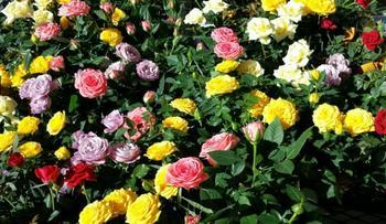 Календарь ухода за миниатюрными розами