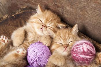 Очаровательные сони из семейства кошачьих