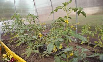 Особенности ухода за помидорами в теплице и правила выращивания
