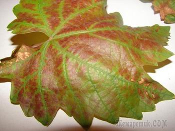 Краснуха винограда: лечение, признаки, распространение
