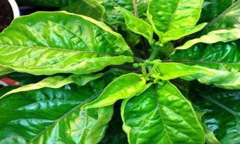 По какой причине скручиваются листья у перцев, что делать, способы профилактики