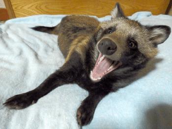 Оказывается, енотовидные собаки реальны, и они здесь, чтобы украсть ваше сердце
