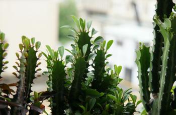 Треугольный молочай: как ухаживать, выращивать, поливать и размножать