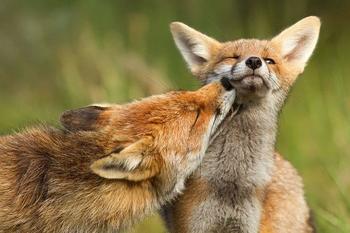 22 очаровательных фото, на которых изображены великолепные лисицы