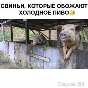 Свиньи, которые обожают холодное пиво