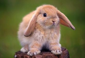 Как можно приучить кролика к лотку?