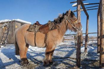 Уникальные якутские лошади, которые выдерживают температуру до 70 градусов мороза