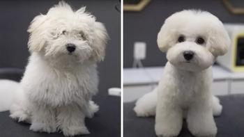 """Фотографии """"до и после"""", показывающие, как преображаются милые пёсики после посещения грумера"""