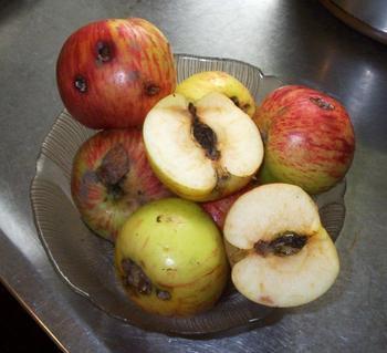 Плодожорка и методы борьбы с ней