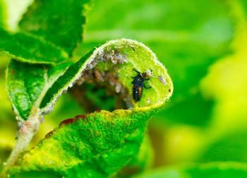 Внешний вид и характерные особенности разных видов тли