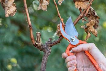 Когда нужно обрезать лозу на винограде