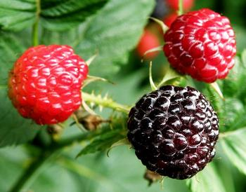 Черная малина: посадка, уход, лучшие сорта