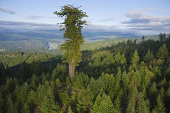 10 высочайших деревьев планеты