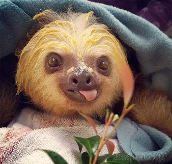 Очаровательно милые ленивцы